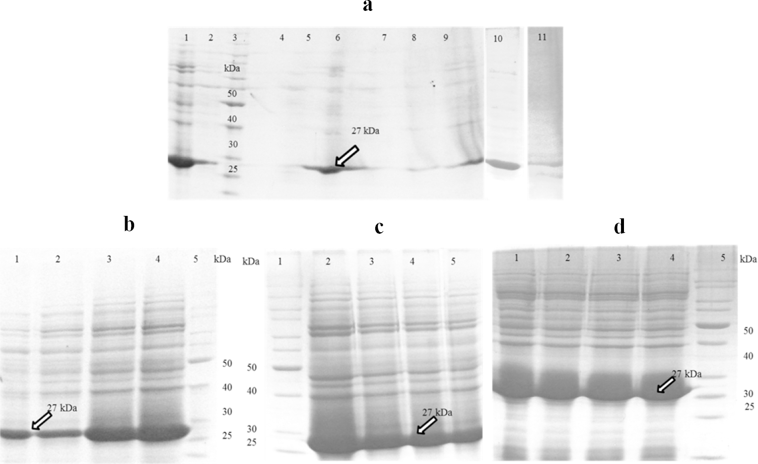 Figure 1: Solubilizing of anti-human epidermal growth factor receptor 2 single chain variable fragment antibody inclusion bodies (HER2 scFv IBs) using (a) different concentrations of urea, guanidine hydrochloride (GdnHCl), and their combinations. Lane 1, urea 6 M; Lane 2, urea 4 M; Lane 4, urea 2 M; Lane 5, GdnHCl 2 M and urea 2 M; Lane 6, GdnHCl 4 M and urea 4 M; Lane 7, GdnHCl 2 M; lane 8, GdnHCl 4 M; Lane 9, GdnHCl 6 M; Lane 10, urea 8 M; and Lane 11, GdnHCl 8 M; (b) Urea 6 M at different pH. Lane 1-4, pH 5, pH 7, pH 9, and pH 11, (C) urea 6 M at pH 11 supplemented with different additives. Lane 2, beta mercaptoethanol (BME) 4 mM; Lane 3, n-Propanol 5%; Lane 4, dithiothreitol (DTT) 4 mM; and Lane 5, no additive; (d) Urea (6 M) at pH 11 supplemented with different concentrations of BME. Lane 1: BME 2 mM; Lane 2: BME 4 mM; Lane 3: BME 6 mM and Lane 4: BME 8 mM. Lanes 3a, 5b, 1c, and 5d are protein marker.