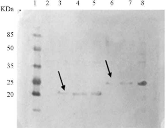 Figure 5: Western blot analysis of purified IL24-BR2 and IL24. Lane 1, pre-stained protein marker; lane 2, un-induced <i>E. coli</i> BL21 (DE3) without pET28a; and lane 3, purify IL24 protein after dialyze; lane 4, purify IL24 protein before dialyze; lane 5, induced <i>E. coli</i> BL21 (DE3) containing pET28a-IL24; lane 6, purify IL24-BR2 fusion protein after dialyze, lane 7, purify IL24-BR2 fusion protein before dialyze, and lane 8, induced <i>E. coli</i> BL21 (DE3) containing pET28a-IL24-BR2. IL, Interleukin; <i>E. coli</i>, <i>Escherichia coli</i>.